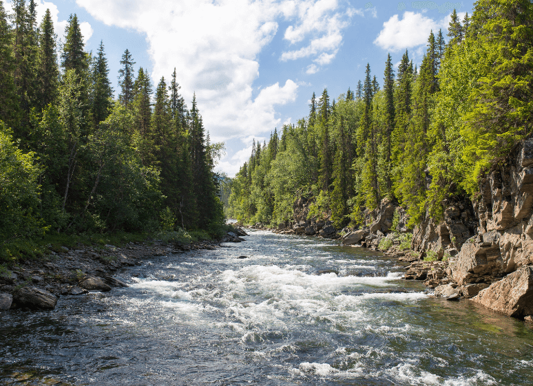 pine trees surrounding a river
